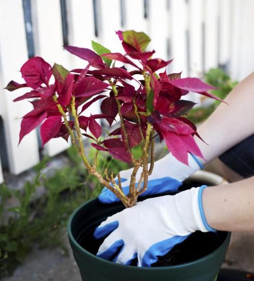 пересадка цветка