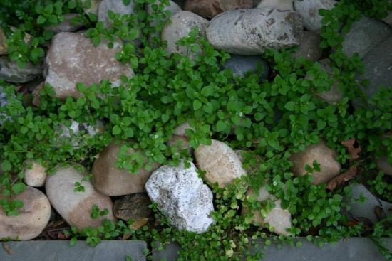 мокрица как декоративное растение