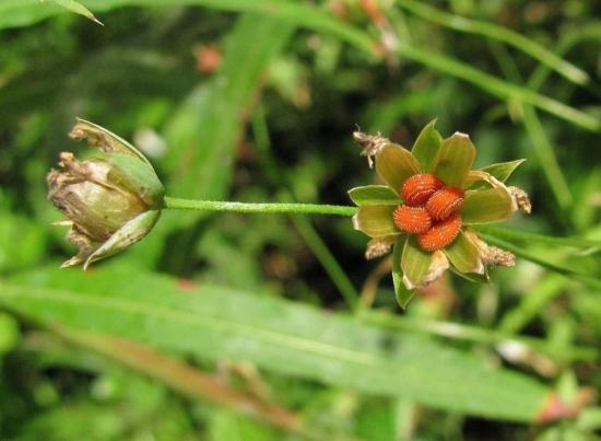 семена мокрицы