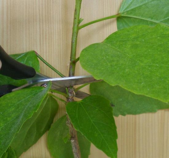 китайская роза размножение черенками