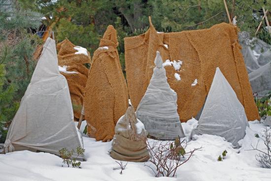 зимовка вейгелы