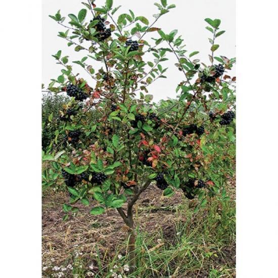 рябина описание растения