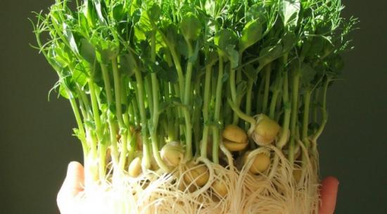 проращивание гороха в домашних условиях