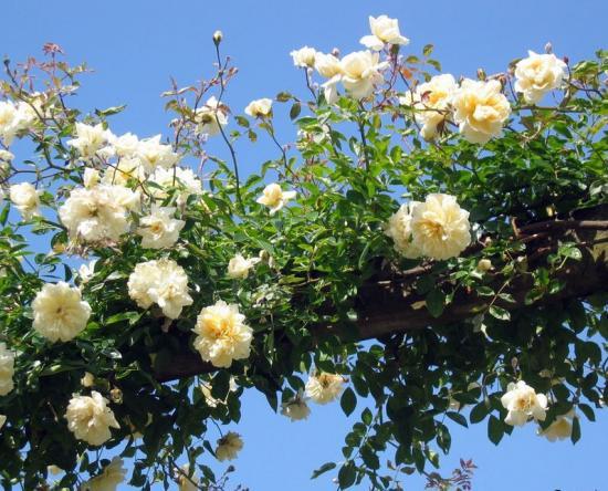 клаймбер розы что это такое