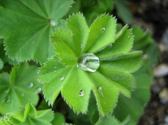 манжетка - декоративное растение