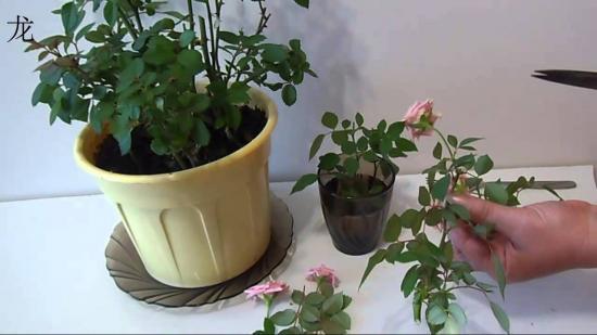 Как обрезать комнатную розу на зиму, виды обрезки, особенности процедуры