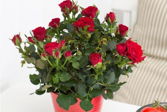 обрезка комнатных роз на зиму