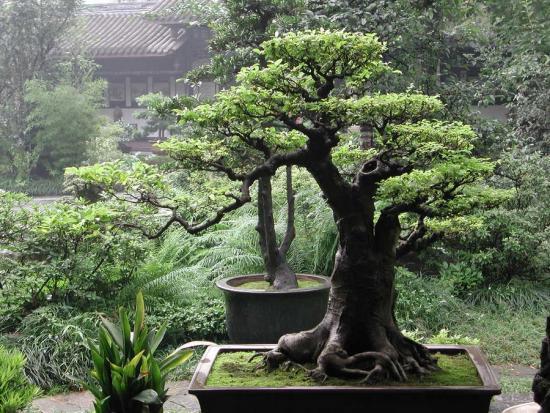 Как вырастить дуб из черенка