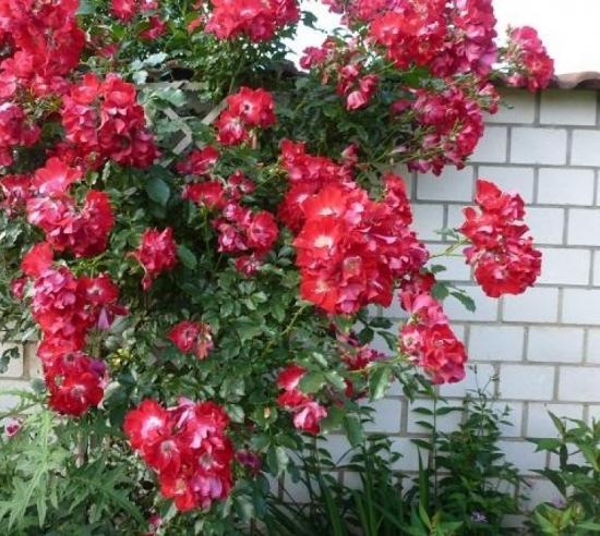 плетистые розы Дортмунд