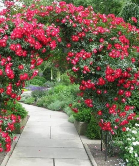 арка, оплетенная розами,. Розы в ландшафтом дизайне