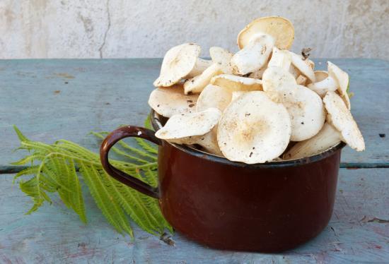 описание грибов рядовка тополиная