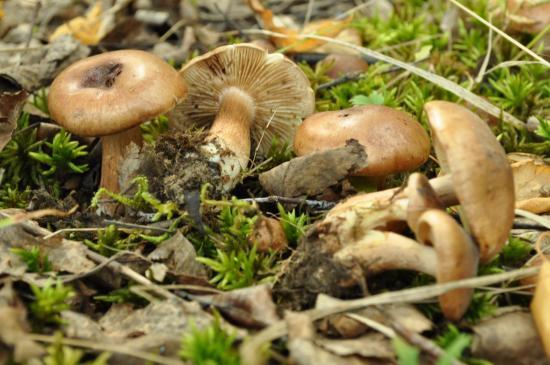 грибы рядовки