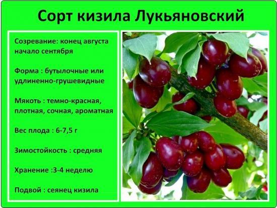 кизил сорт Лукьяновский