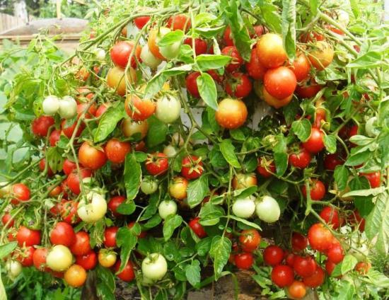 помидоры взрыв