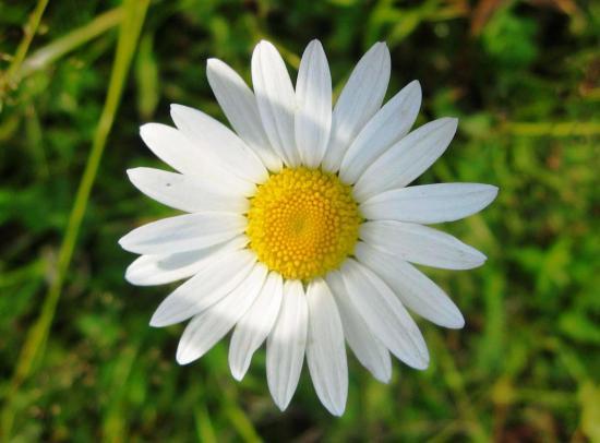 цветки ромашки что содержат