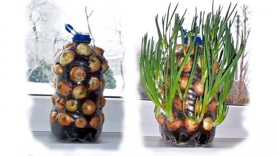 выращивание лука на зелень как бизнес