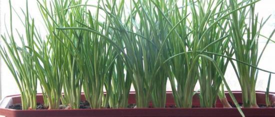 выращиванеи лука в домашних условиях