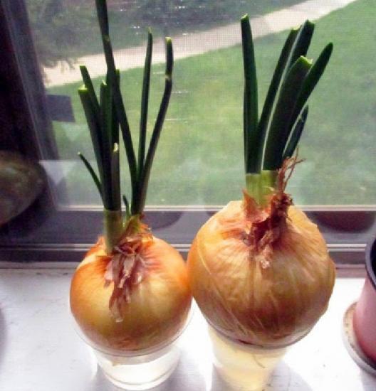 выращивание лука на зелень в воде