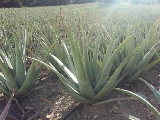 растение алоэ лекарственные свойства