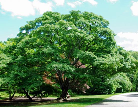 высокое красивое дерево клен