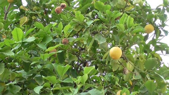 лимон в комнатных условиях