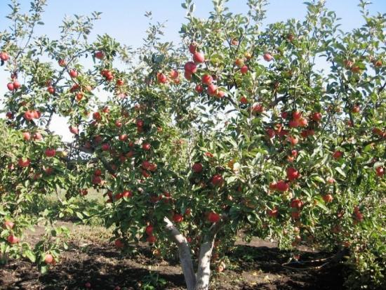 взрослое плодоносящее дерево