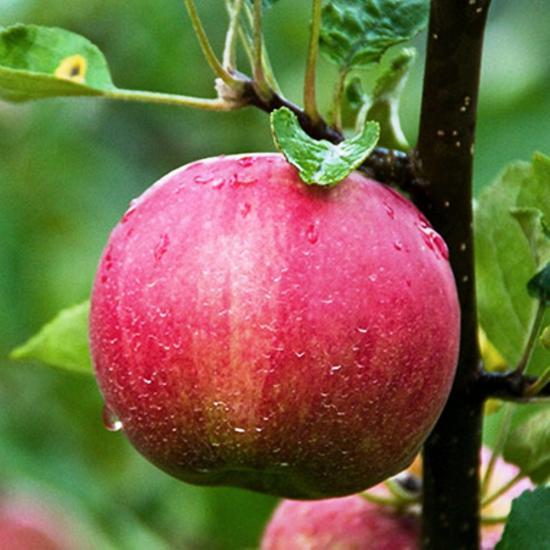 яблоки джонатан, урожайность