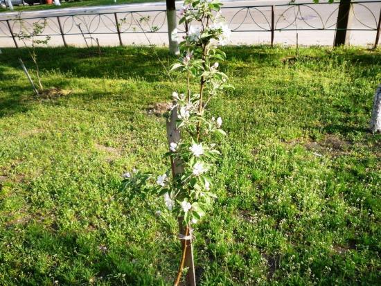 цветение яблони, необходимость опылителей