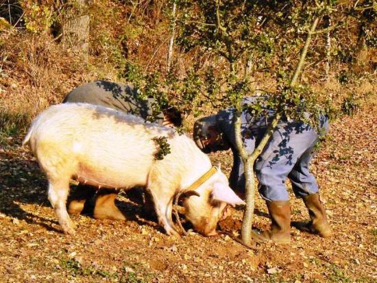 в поисках трюфеля помогают свинки
