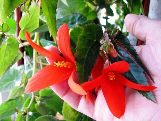 цветение бегонииболивийской