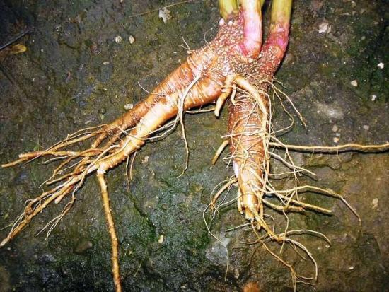 корни лаконоса