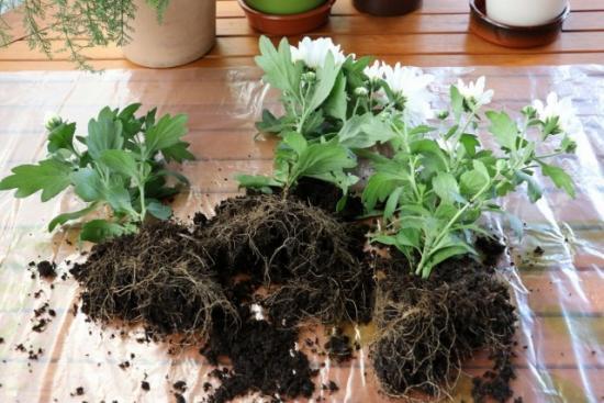 пересадка горшечной хризантемы