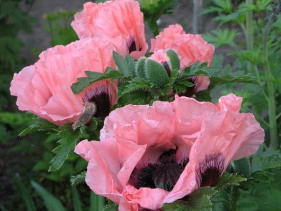 маки розовые