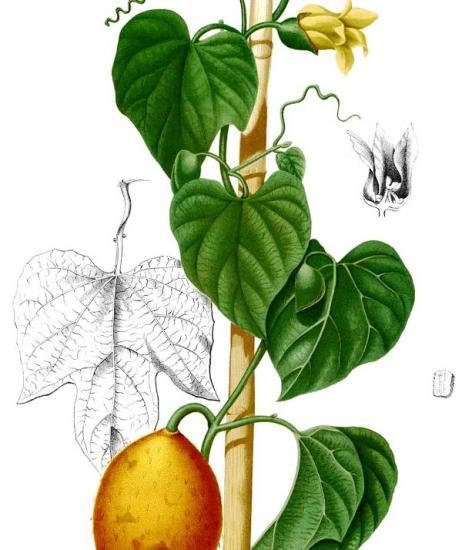 Момордика Кохинхинская (Momordica cochinchinensis): описание, калорийность, состав, польза, как едят