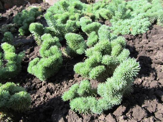 выращиванеи седума из семян