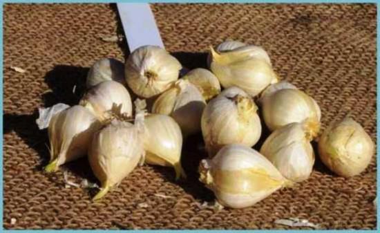 луковицы декоративного лука