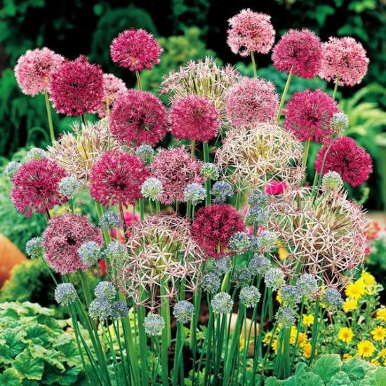 лук аллиум в садовом дизайне