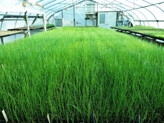 выращивание многоярусного египетского лука в теплице