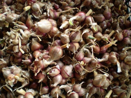 уборка урожая египетского лука