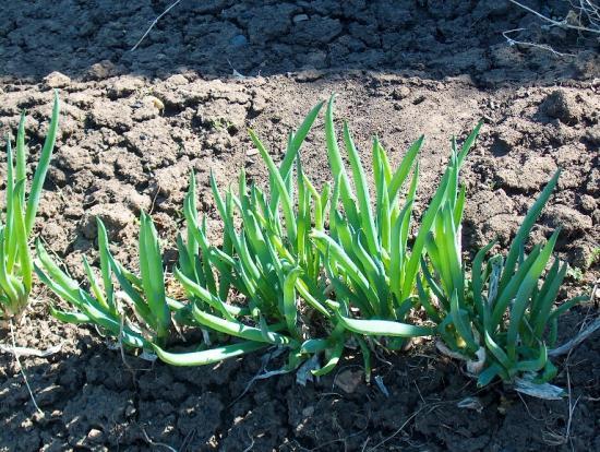 выращивание многоярусного египетского лукак