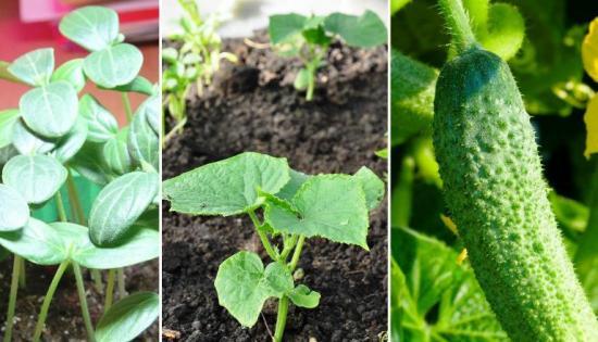 вегетационный период у овощей, огурцы