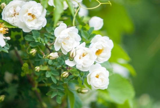 вегетация роз
