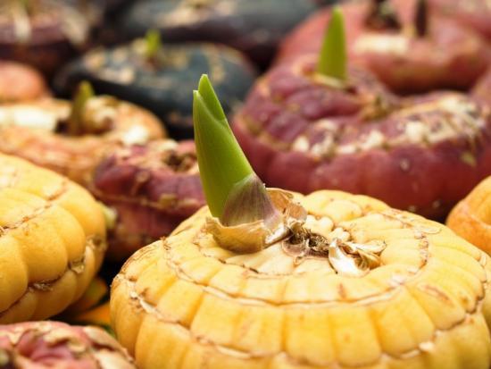 вегетационный период у луковичных растений