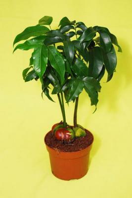 комнатное растение каштан