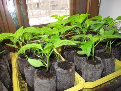 выращивание рассады перца сладкого