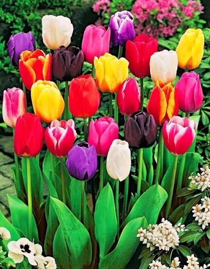 тюльпаны на фото