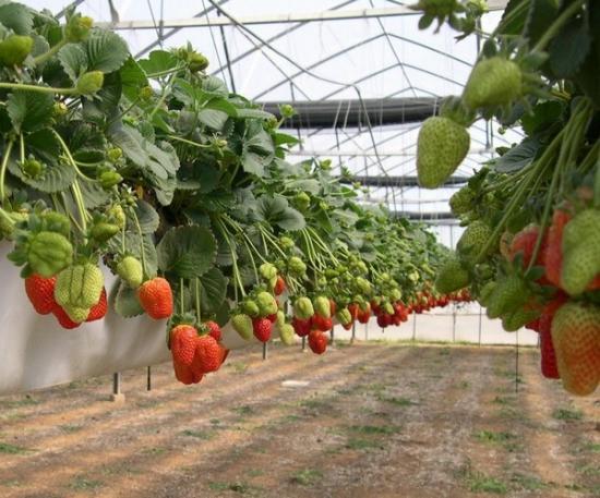 Особенности выращивание клубники Камрад