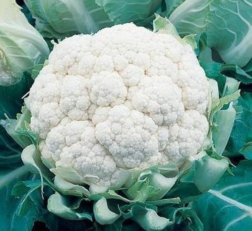 Особенности выращивания цветной капусты Сноуболл