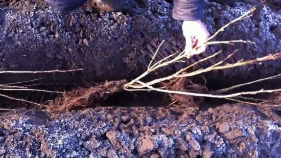 Смородина дикая или репис: выращивание кустарника в домашних условиях