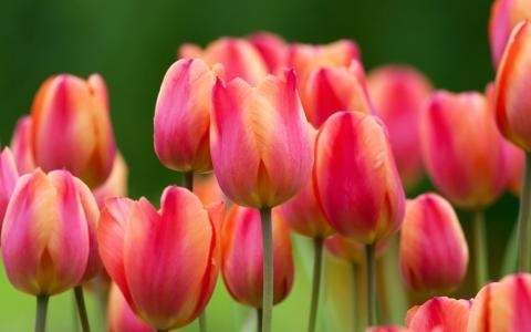 Как правильно и чем нужно разводить тюльпаны